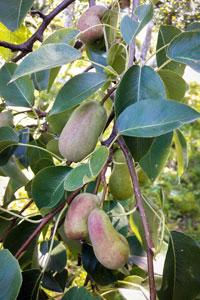 Одна из груш в том сезоне дала плоды